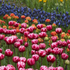 Keukenhof – park plný tulipánů