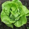 Výsadba salátu není nic těžkého