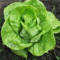 Rady pro správnou výsadbu salátu do skleníku