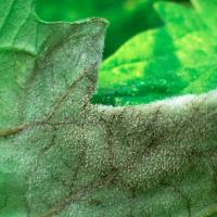 Jak vypěstovat zdravou plodovou zeleninu