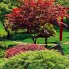 Japonské javory – krása Asie ve Vaší zahradě