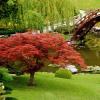 Japonské javory můžeme pěstovat i u nás…
