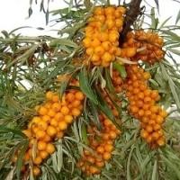 Pěstujte rakytník řešetlákovitý, je skvělým zdrojem vitamínu C!
