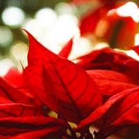 Pokojové rostliny v adventní čas…