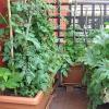 Odrůdy rajčat a paprik pro pěstování na balkónu