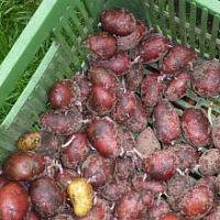 Výsadba brambor trochu jinak…