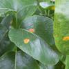 Máte-li na listech hrušky oranžové skvrny, zbystřete! Je to rez.