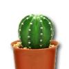 Nekvetou vám kaktusy? Použijte hnojivo na orchideje!