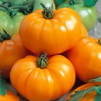 Zajímavosti v sortimentu rajčat a okurek