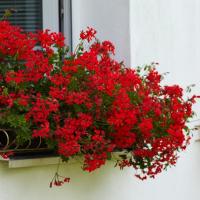 Chcete mít na okně vodopád květů? S pravidelnou péčí o rostliny a díky správnému hnojení to nebude žádný problém!