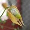 Odkvetlé plaménky nestříhejte, zahradu mohou zdobit až do podzimu!