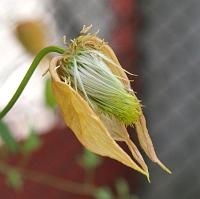 Odkvétající Clematisy nestříhejte, zahradu mohou zdobit až do konce léta!