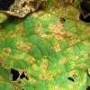 Skvrny na listech okurky nemusí vždy znamenat jednoznačně plíseň, je ale třeba být ve střehu!