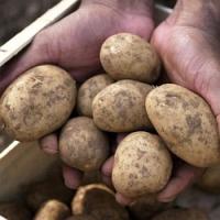 Zásady správné sklizně a uskladnění brambor na zimu