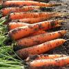 Sklizeň kořenové zeleniny je v plném proudu. Víte, jak ji správně uskladnit, aby  vydržela?