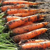 Jak správně uskladnit kořenovou zeleninu aby vydržela?