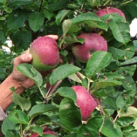 Začíná sklizeň jablek a hrušek. Víte, jak je správně uskladnit?