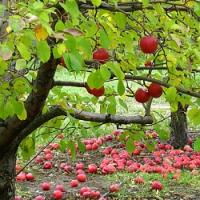 Péče o ovocné stromy v podzimních měsících