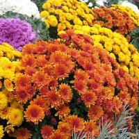 Co s chryzantémou až odkvete? Poradíme, jak se o ni dále starat…