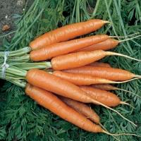 Rady pro podzimní výsevy mrkve a petržele…