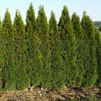 Základní pravidla vysazování a údržby živého plotu z tújí