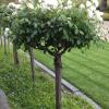 Pravidla zimování stromkových růží