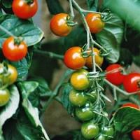 Zbyla vám na záhoně poslední zelená rajčata? Poradíme, jak je přinutit dozrát!