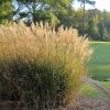 Nestihli jste ještě zazimovat okrasné trávy? Pospěšte si, poradíme jak na to!