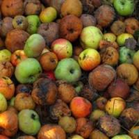 Kontrolujete uskladněné ovoce a zeleninu? Pokud ne, můžete přijít rychle o podstatnou část vypěstované úrody!