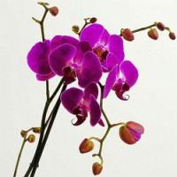 Dostali jste pod stromeček orchidej a neumíte se o ní starat? Poradíme jak na to, aby vám dlouho vydržela! (video)