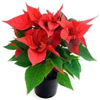 Kupujete vánoční hvězdy, vánoční kaktusy a nebo bramboříky? Poradíme, jak se o ně správně postarat!