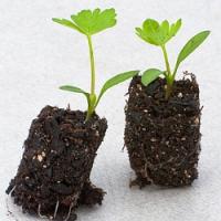Jak a čím chránit semínka po vyklíčení?