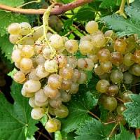 Začínáme s vinnou révou, aneb v polovině dubna je ten správný čas na založení domácí vinice!
