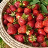 Jaro je ideální pro výsadbu kvalitní Frigo sadby jahod. Znáte ji?