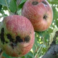 Chcete mít letos zdravá jablka? Pak je potřeba zasáhnout proti strupovitosti!