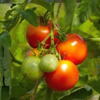 Desatero správného pěstování keříčkových a tyčkových rajčat…