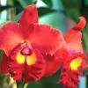 Cattleya je právem nazývána královnou orchidejí. Naučte se ji pěstovat!
