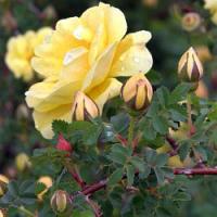 Ukázka netradičního aranžování květů růží z vaší zahrady…