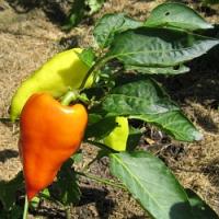 Na zahradě bez chemie, aneb přípravky na přírodní bázi proti houbovým chorobám a savým či žravým škůdcům