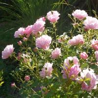 Návod na bezproblémové pěstování růží…