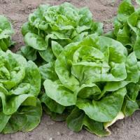 Budete mít po prvních sklizních na záhonech místo? Naplánujte výsadbu salátu…