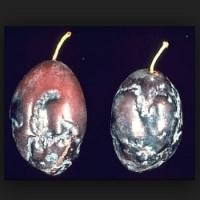 Proti šárce švestek se můžeme chránit pouze výsadbou rezistentních odrůd. Víte, jak tato nemoc vypadá?