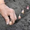 Herbicidy do česneku a přípravky na moření česneku
