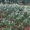 Víte, jak správně nachystat na zimu rododendrony a azalky?