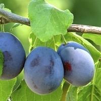 Slivovice, koláče, knedlíky a kompoty na zimu. To vše vám poskytnou plody švestky, na jejíž výsadbu v zahradě je právě teď ten správný čas!