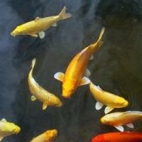 Kanpai a Koi Colour – kvalitní krmiva pro kapry Koi v zahradním rybníčku