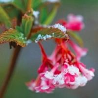 Okrasné keře kvetoucí brzy zjara…