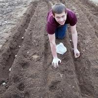 Výsadba brambor a jejich ochrana proti plevelům.