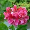 Blíží se doba výsadby muškátů, poradíme jak naložit s rostlinami, které úspěšně přezimovaly…