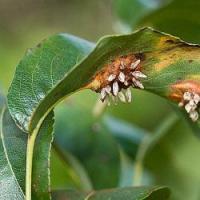 Ochrana ovocných dřevin na přelomu května a června